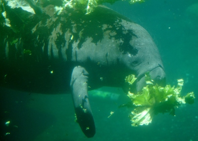 A rescued manatee munches on romaine lettuce.