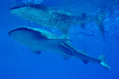 A whale shark cruises near the surface of the water.
